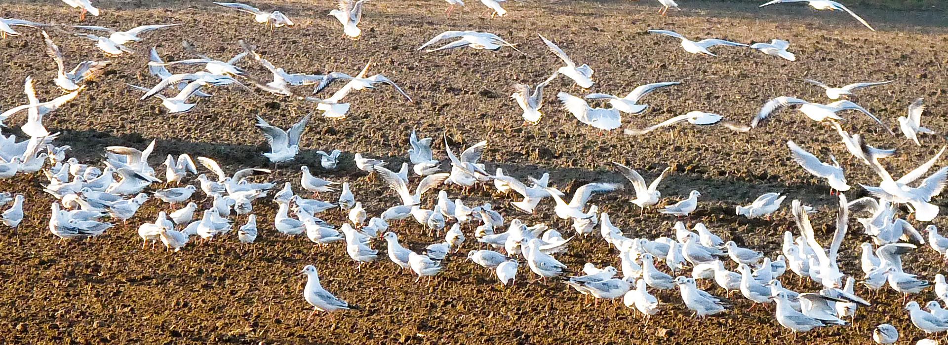 vogelschwarm-am-strand-an-der-ostsee